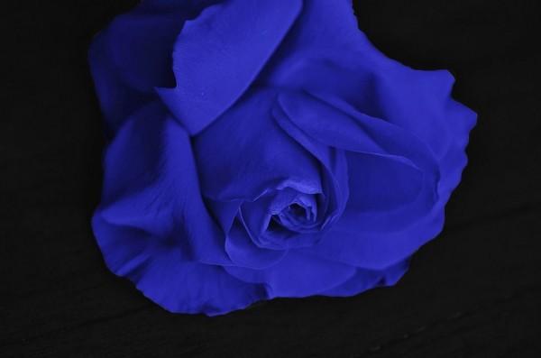 bedeutung-blaue-rose