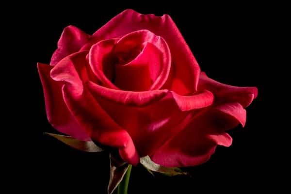 rote-rose