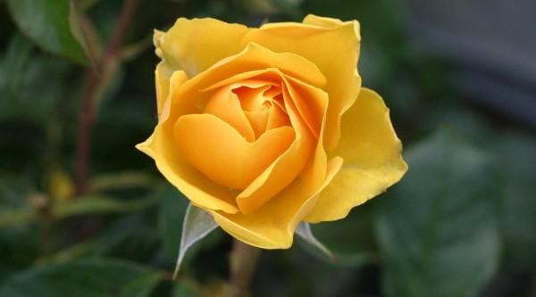 bedeutung-gelbe-rosen