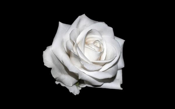 bedeutung-weisse-rose